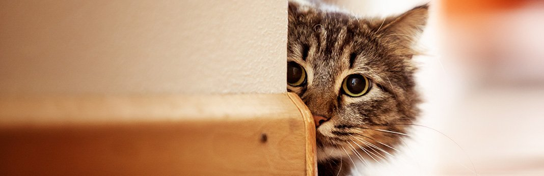 The Curious Case of Cat's Character - Why Are Cats So Curious?