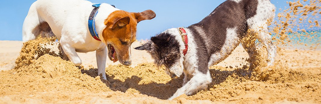Why-Do-Dogs-Bury-Things