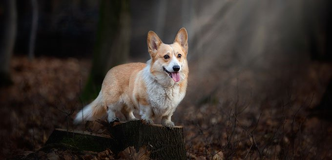 A Welsh Corgi Pembroke dog stands on a pin in the middle of the forest, illuminated by a ray of incident light