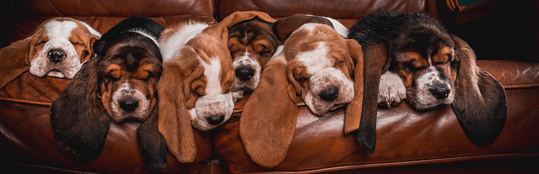 Basset Hound: Breed Info, Pictures and Facts