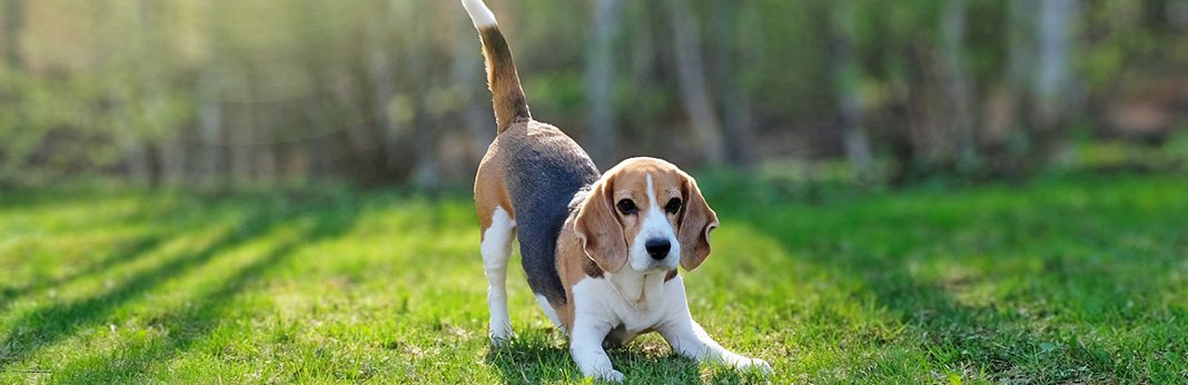 Beagles: Breed Information, Characteristics, Pictures and Facts