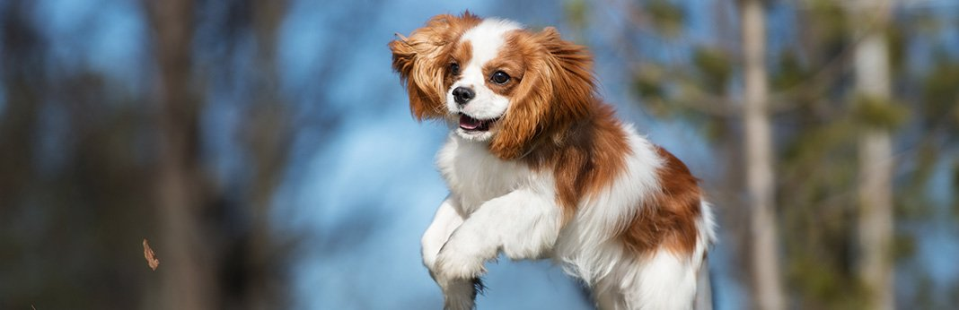 Cavalier King Charles: Breed Information, Characteristics, and Facts