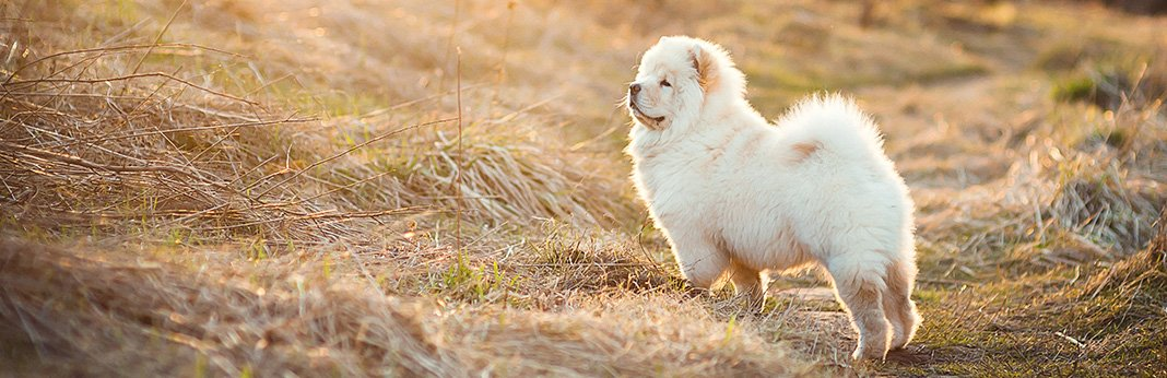 Chow-Chow-Breed-Information,-Characteristics,-and-Facts