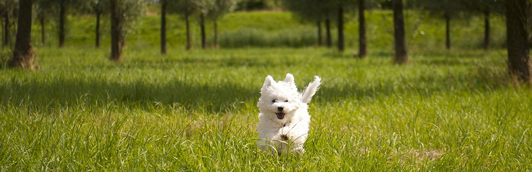 Maltese: Breed Information, Characteristics, and Facts