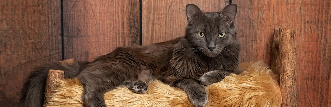 Nebelung Cat Breed Information, Characteristics, and Facts