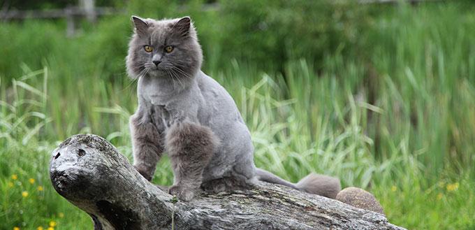 Nebelung cat standing on a wooden sculpture