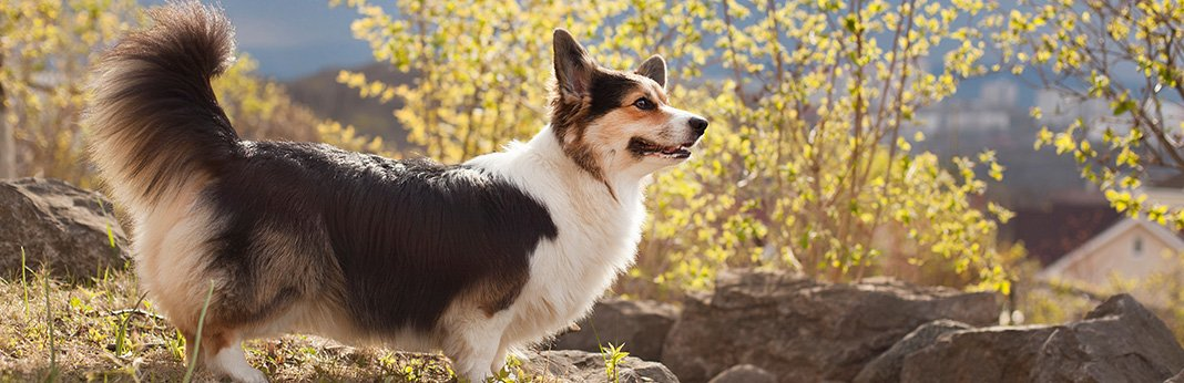 Pembroke Welsh Corgi: Breed Information, Characteristics, and Facts