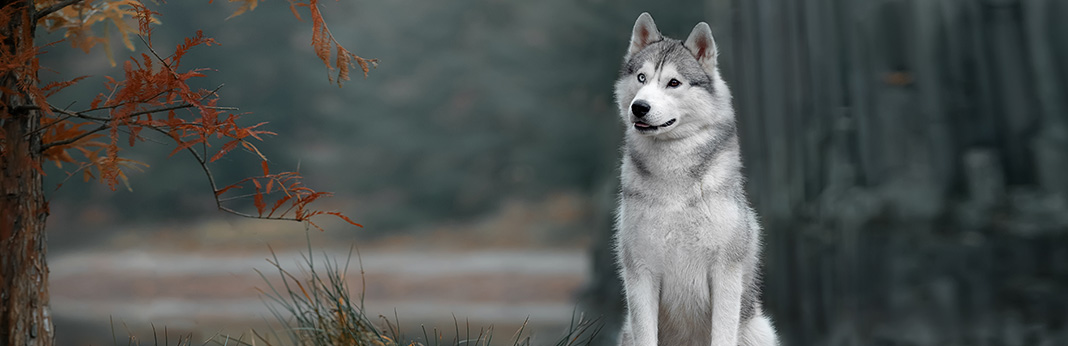 Siberian Husky: Breed Information, Characteristics, and Facts