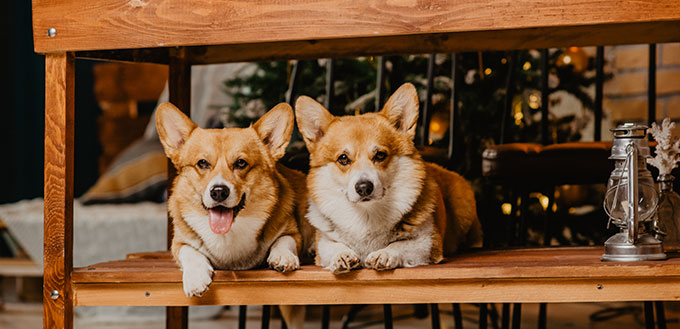 Two welsh corgi pembroke dogs laying under the dining table with Christmas tree behind