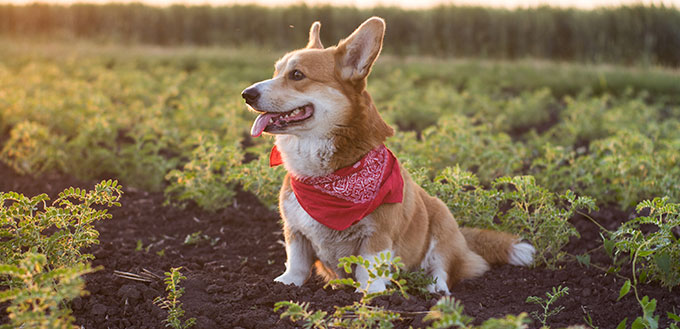 funny portrait of cute corgi dog outdoors in summer fields