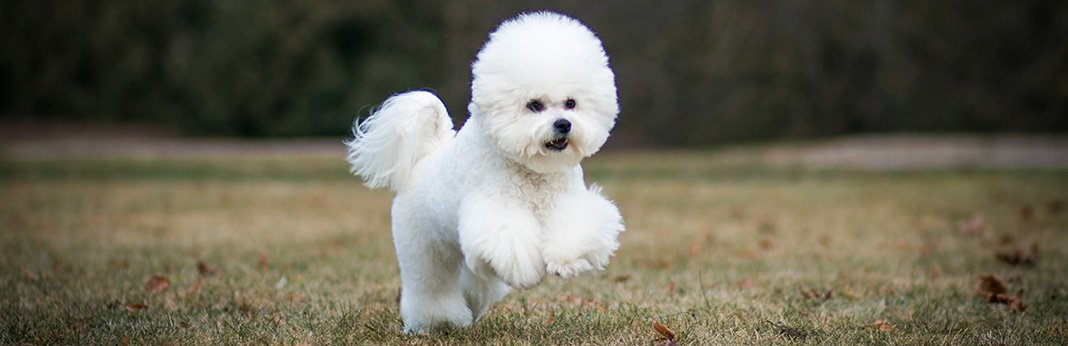 Bichon-Frise-Breed-Information,-Characteristics,-and-Facts