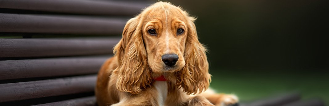 Cocker Spaniel Breed Information, Characteristics, and Facts