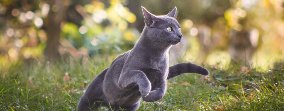 Joli chat russe bleu en cours d'exécution dans la nature