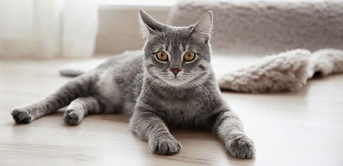Cute tabby cat lying on floor at home