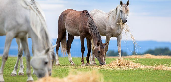 Horses grazing in field outdoors