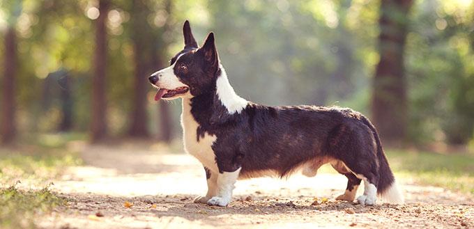 Un chien avec un corps long et des pattes courtes de race welsh corgi cardigan avec manteau noir et blanc à l'extérieur sur la journée ensoleillée d'été
