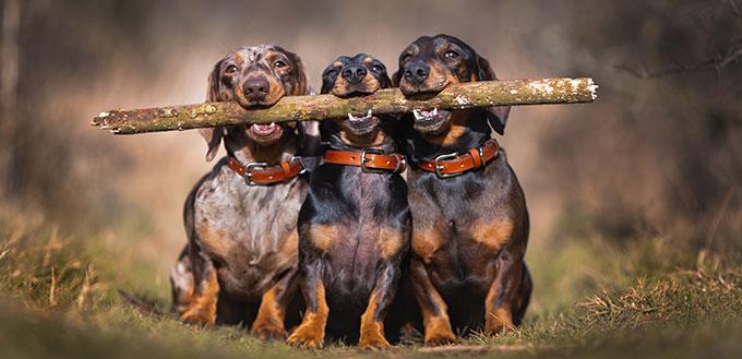 Trois chiens saucisses tenant un gros bâton, photo drôle et mignonne dans la campagne.