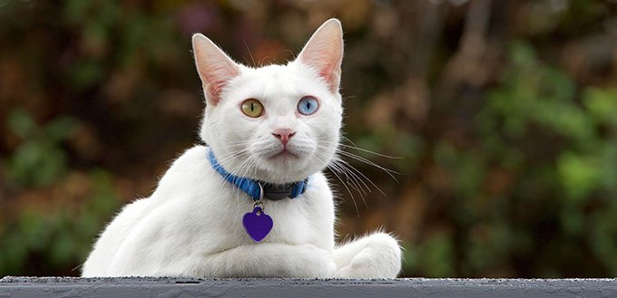 White cat wearing a blue collar with purple blank name tag looking towards viewer with heterochromatic eyes.
