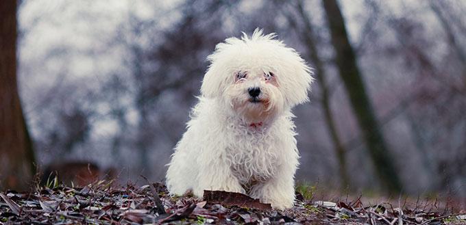 fluffy white little dog plays