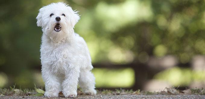 maltese dog barking