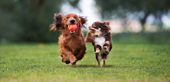 deux petits chiens jouant ensemble à l'extérieur
