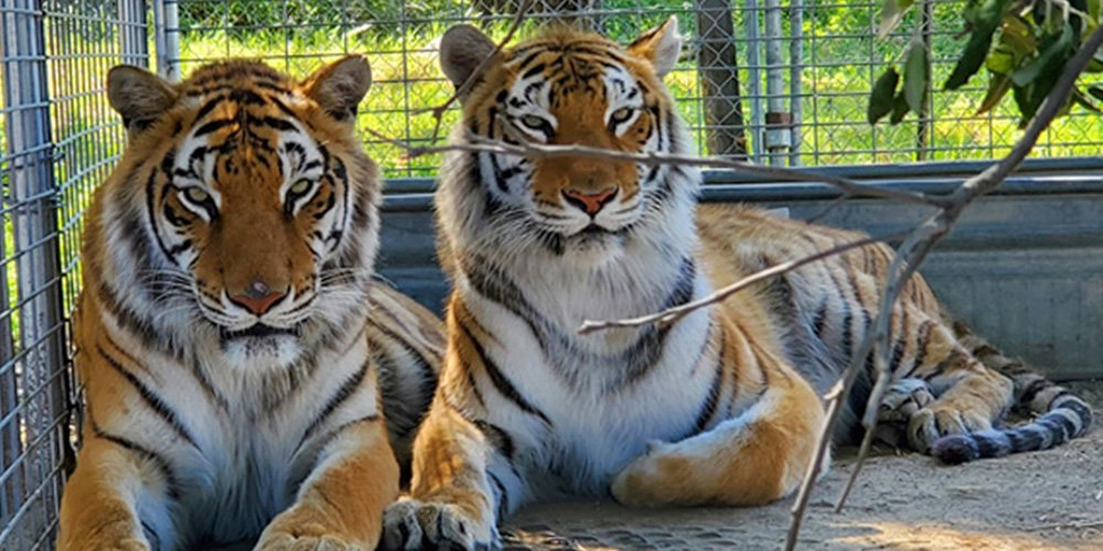 """35-Big-Cats-Seized-From-""""Tiger-King""""-Taken-in-by-Colorado's-Wild-Animal-Sanctuary"""