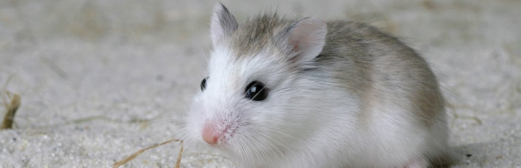 Dwarf Hamster: Complete Care Guide and Introduction