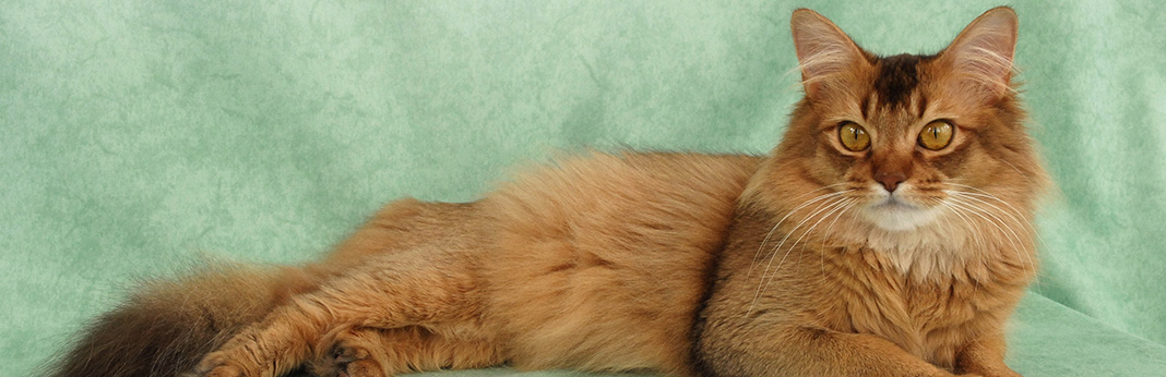 Somali Cat: Breed Information, Characteristics, and Facts