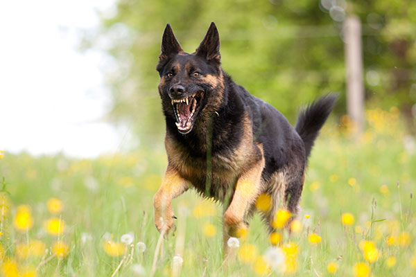 Aggressive german shepard dor run close with opened mouth and show teeth frontal