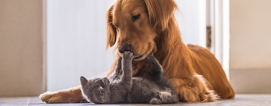 25 Cat Breeds That Get along with Dogs
