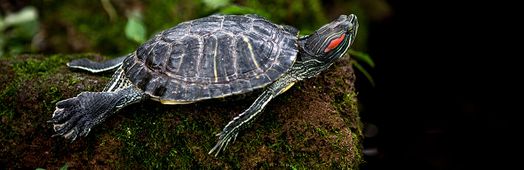 Red-Eared Slider Complete Care Guide and Introduction