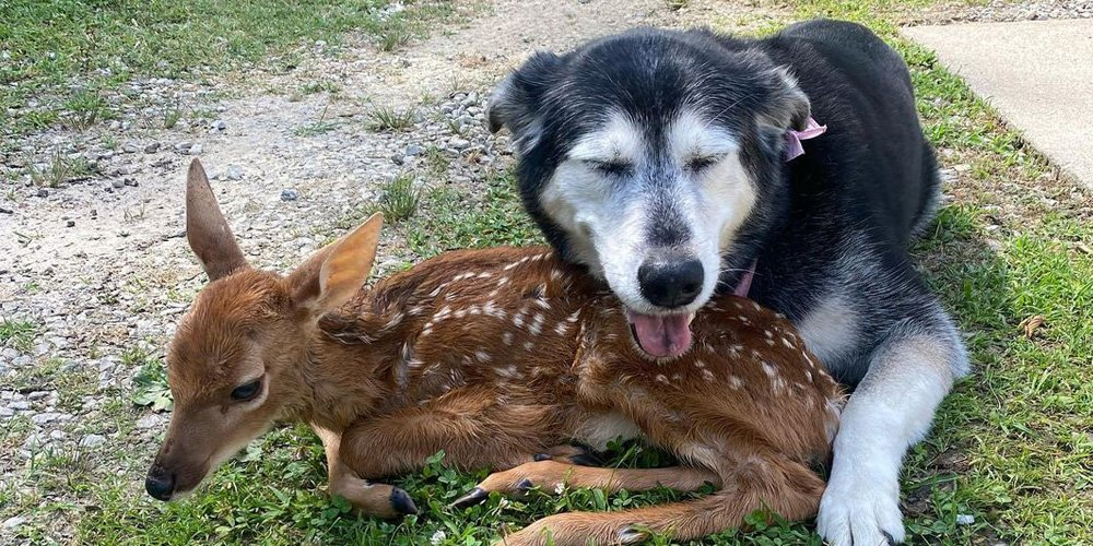 Sweet Dog Cuddles With a Lost Fawn Whilst it Waits to Find a Rescue Home