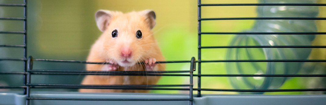 Syrian-Hamster—the-Ideal-Pet