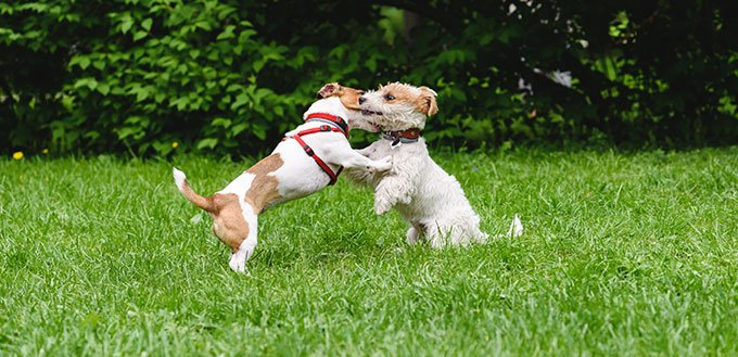 Two cute dogs playing at lawn