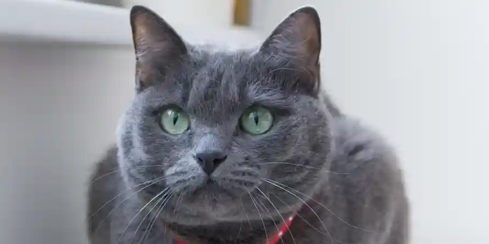 A-Russian-Blue-cat-was-among-the-breeds-euthanised-after-they-were-found-in-a-smuggling-operation-off-the-coast-of-Taiwan.