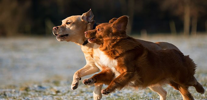 Dogs Runing