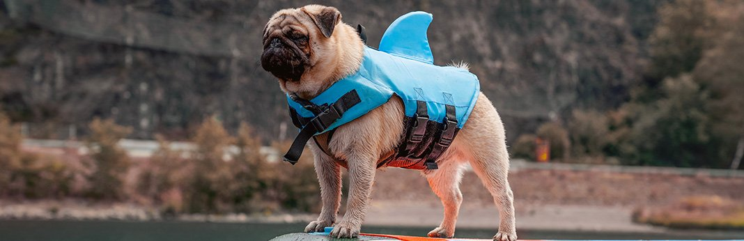 Pug: Breed Information, Characteristics, and Facts