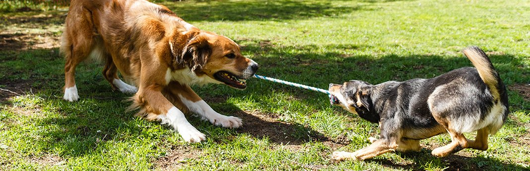 Why-Do-Dogs-Like-Tug-of-War
