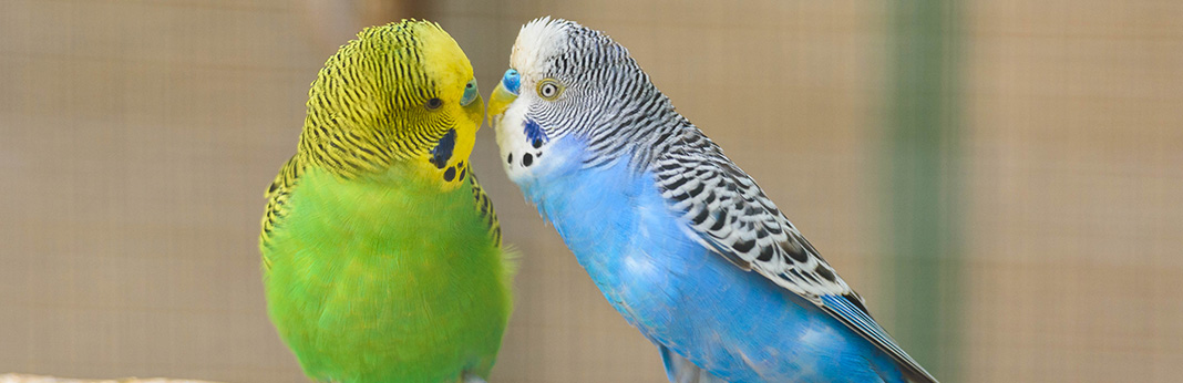 How to Tell If a Parakeet Is Male or Female