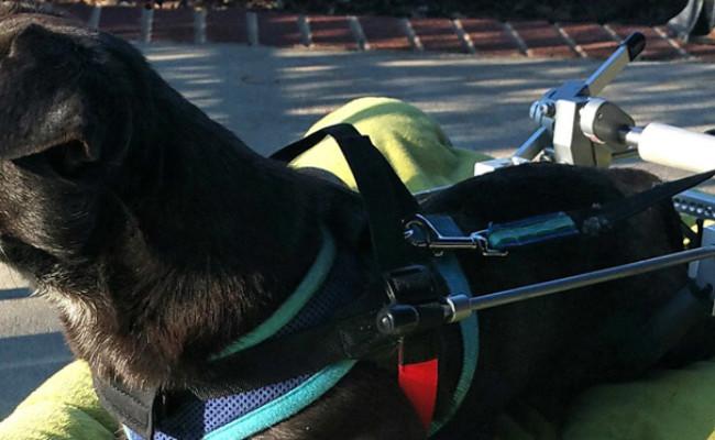 Best Friend Mobility Revolution Dog Wheelchair