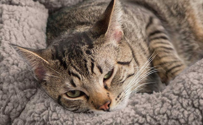 Best Friends Sheri OrthoComfort Cuddler Cat Bed
