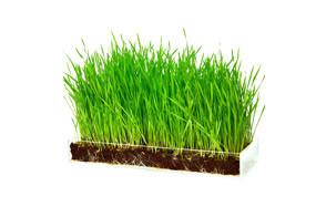 Window Garden Wheatgrass for Cats