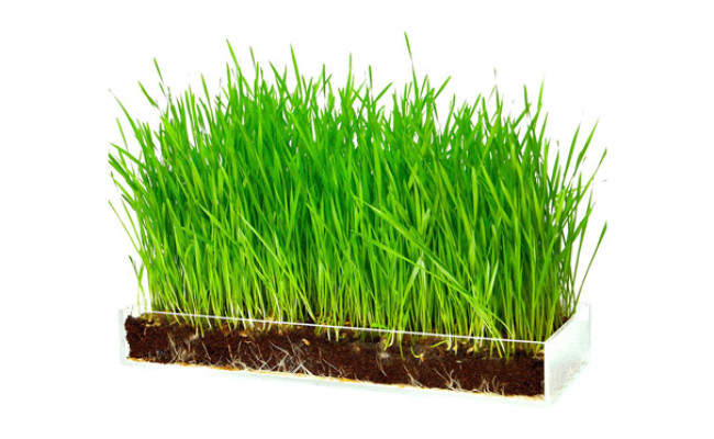 Window Garden Wheatgrass for Cats